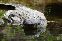 Crocodile in National park of Kenya, Africa Stock Photography