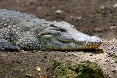 Crocodile in National park of Kenya, Africa Royalty Free Stock Photo