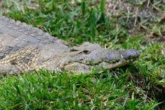 Crocodile in National park of Kenya, Africa Stock Photos