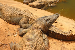 Crocodile in the nature at the forest Stock Images