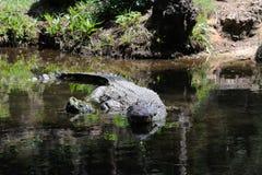 Crocodile in nature Stock Image