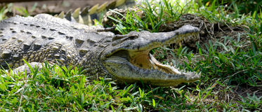 Crocodile in nature Stock Photography