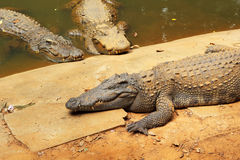 Crocodile in the nature Royalty Free Stock Image
