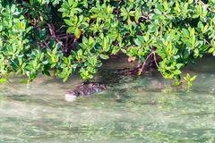 Crocodile near Tulum, Mexico Royalty Free Stock Image