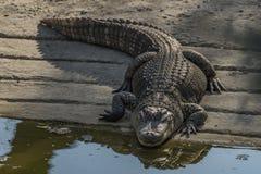 Crocodile near water pond in sunny day Stock Photos