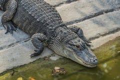 Crocodile near water pond in sunny day Stock Photo
