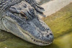 Crocodile near water pond in sunny day Stock Image