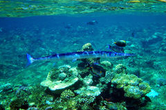 Crocodile needlefish Stock Images