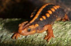 Crocodile newt Stock Image