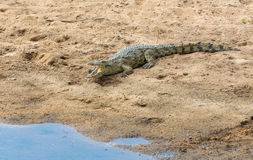 Crocodile next to the water Royalty Free Stock Photo
