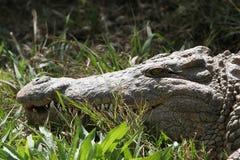 Crocodile Nile. Nile crocodile lying in green grass Stock Image