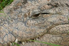 Crocodile Nile Close-up Stock Image