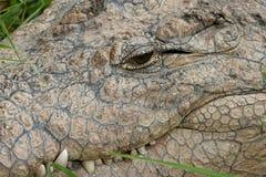 Crocodile Nile Close-up. Close up of Nile Crocodile eye and mouth stock image