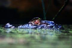 Crocodile noir dans l'eau Image stock