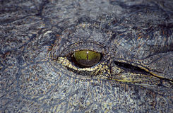 Crocodile, Okavango Delta, Botswana. A close-up of a crocodile eye in Botswana Royalty Free Stock Image