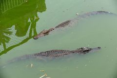 Snorkeling-crocodile-Crocodylus siamensis. The crocodile is one of the earliest and most primitive animals found so far. The Mesozoic about two hundred million Stock Images