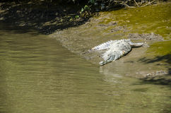 CROCODILE WITHOUT ONE LEG Royalty Free Stock Photos
