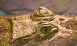 Crocodile open eye royalty free stock photo