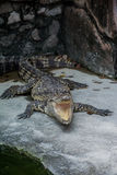 A Crocodile Open Its Mouth Royalty Free Stock Images