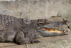 A crocodile with open jaws Stock Image