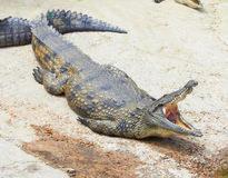 Crocodile. With the open jaws Royalty Free Stock Photography