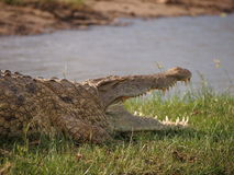 Crocodile with open jaws Stock Photos