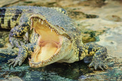 Crocodile open jaws ready to strike. In thailand Royalty Free Stock Photo