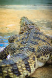 Crocodile open jaws ready to strike. In thailand Royalty Free Stock Images