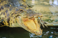 Crocodile open jaws ready to strike. In thailand Stock Photos