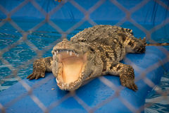 A crocodile with open jaws. Crocodile with open jaws in thailand stock images
