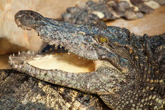 Crocodile with open mouth Stock Images