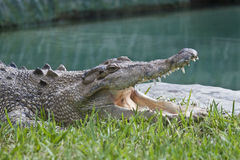 Crocodile with open mouth. Stock Images
