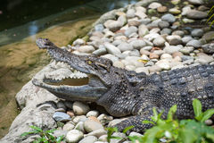 Crocodile. A Crocodile with open mouth Royalty Free Stock Photography