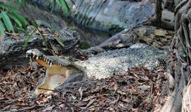 Crocodile. The crocodile  is open mouth Stock Image