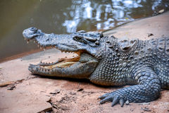 Crocodile with open mouth. Big crocodile with open mouth Stock Photos