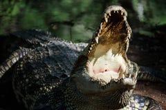 Crocodile open mouth Stock Image