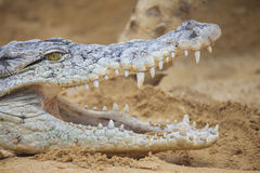 Crocodile with open mouth Royalty Free Stock Photos