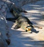 Crocodile open mouth Royalty Free Stock Photos
