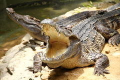 Crocodile. With open mouth on a farm in Chonburi, Thailand Royalty Free Stock Photo