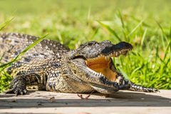 Crocodile with open mouth. Head of a Crocodile with open mouth stock image