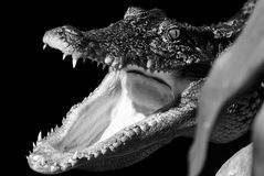 Crocodile. Is open mouth. image black and white stock photo