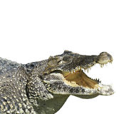 Crocodile With  Open Mouth Stock Photos
