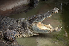 Crocodile with an open mouth Stock Images