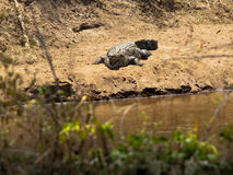Crocodile with open mouth lies on the shore. Against the bushes Royalty Free Stock Photos