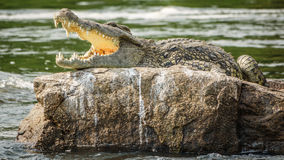 Crocodile with open mouth in Nile river over rock Stock Images