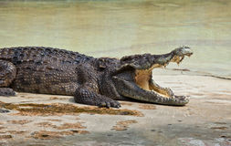 Crocodile with open mouth resting Royalty Free Stock Photography