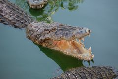 Crocodile with open mouth resting Stock Image