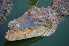Crocodile with open mouth resting Stock Photo