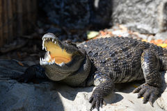 Crocodile Open mouth. Sunbathe in farm Stock Photos