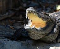 Crocodile Open mouth. Sunbathe in farm Royalty Free Stock Photos